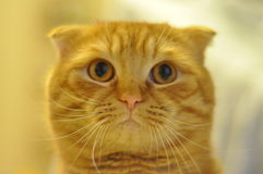 Scottish fold short hair cat. Scottish fold, short hair cat is watching you strictly Royalty Free Stock Photo