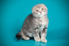 Scottish fold shorthair cat on colored backgrounds. Studio photography of a scottish fold shorthair cat on colored backgrounds royalty free stock image