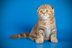 Scottish fold shorthair cat on colored backgrounds. Studio photography of a scottish fold shorthair cat on colored backgrounds stock images