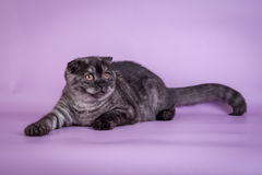 Scottish Fold small cute 4 monts kitten black smoke color Stock Photography