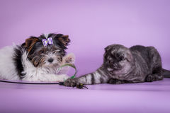 Scottish Fold and small dog small cute 4 monts kitten black smoke color Stock Photo