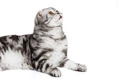 Scottish fold sort on white background. Portrait cat, scottish fold sort on white background Stock Photo