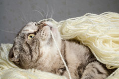 Scottish Fold tangled in yarn and plays nibbling thread Stock Image