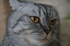 Scottish fold. Unexpected photo. cat shocked and surprised Stock Photo