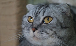 Scottish fold. Unexpected photo. cat shocked and surprised Stock Image
