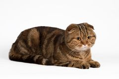 Scottish fold on white background. A portrait of Scottish fold on white background Stock Photos