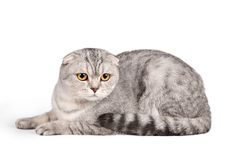 Scottish fold on white background. A portrait of Scottish fold on white background Royalty Free Stock Photo