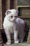 Scottish fold. A white young scottish fold with very light marking is standing among some colored wicker basket Royalty Free Stock Photos