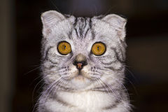 Scottish Fold. Young beautiful domestic Scottish Fold Royalty Free Stock Images