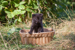 Scottish fold young kitten seats Royalty Free Stock Image