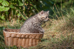 Scottish fold young kitten seats Royalty Free Stock Photography