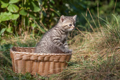 Scottish fold young kitten seats Stock Images