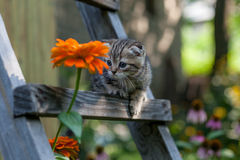 Scottish fold young kitten seats Royalty Free Stock Photos