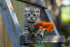 Scottish fold young kitten seats Royalty Free Stock Photo