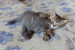 Scottish fold young kitten sleeps Royalty Free Stock Images