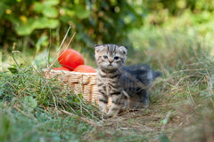 Scottish fold young kitten and tomatos Royalty Free Stock Images