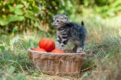 Scottish fold young kitten and tomatos Royalty Free Stock Photo