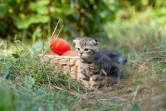 Scottish fold young kitten and tomatos Royalty Free Stock Photography