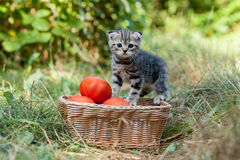 Scottish fold young kitten and tomatos Stock Photo