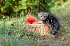 Scottish fold young kitten and tomatos Royalty Free Stock Photos