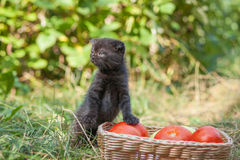 Scottish fold young kitten and tomatos Stock Images