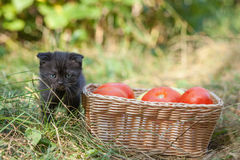 Scottish fold young kitten and tomatos Royalty Free Stock Image