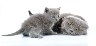 Scottish folded ear mother cat with kittens Stock Photo