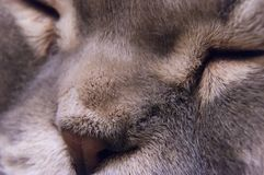 Closed eyes Scottish Fold male cat muzzle close-up. Scottish Folds are hardy cats and their disposition matches their sweet expression. They adore human Royalty Free Stock Images