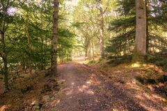 A Scottish Forrest Walk at Autumn in the Perthshire forests of Crieff Scotland Stock Image