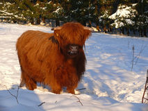 Scottish Gaelic Highland Imagem de Stock Royalty Free