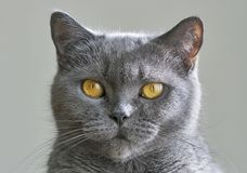 Scottish gray cat portrait Stock Photography