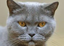 Scottish gray cat portrait Stock Image