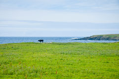 Scottish green landscape with steer and sea bay in background Royalty Free Stock Photography