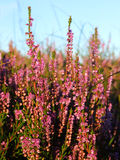 Scottish heather. Against blue sky, close up Stock Photography