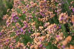 Scottish Heather in Bloom. Vivid pink, purple and orange heather growing wild in the Scottish Highlands Stock Image