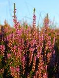 Scottish heather, close up Stock Image