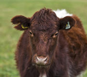 Scottish Heifer. Stock Photography