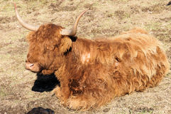 Scottish Highland Stock Photo