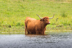 Scottish highland beef Royalty Free Stock Photo