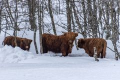 Scottish highland beef in deep snow forest royalty free stock images