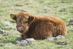 Scottish Highland Breed Calf Stock Images