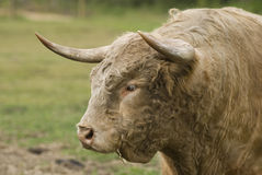 Scottish highland bull Stock Photography