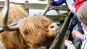 Scottish highland bull Stock Photos
