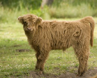 Scottish Highland calf Royalty Free Stock Photo