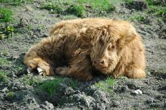 Scottish highland calf Stock Images