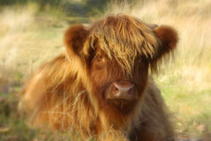 Scottish highland calf Stock Photos