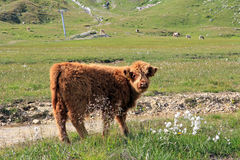 A Scottish highland calf Stock Image