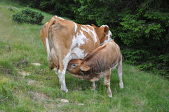 Scottish highland calf and cow Royalty Free Stock Photos