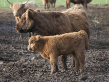 Scottish Highland Calf. A woolly Scottish Highland calf and its mother in a muddy farm field in New York's Hudson Valley Royalty Free Stock Photos