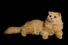 Scottish highland cat Royalty Free Stock Photo